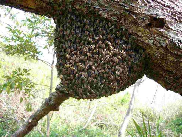 2.ミツバチの塊は何?