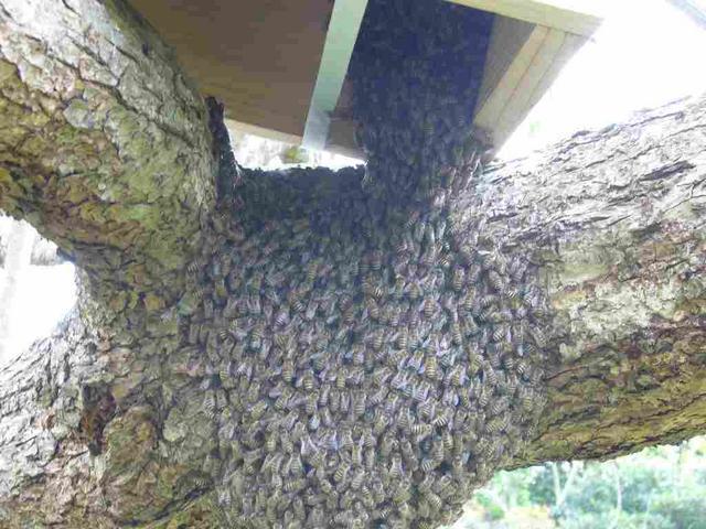 3.ミツバチの大群が移動する時